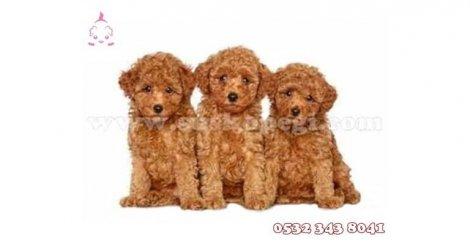 Süs köpeği fiyatları ve cinsleri