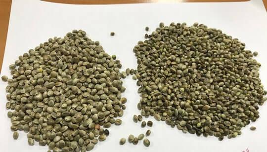 Kenevir Tohumu | Hemp Seeds Industrial