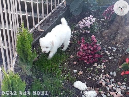 Maltese Terrier Teacup
