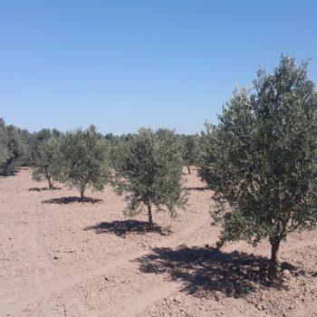 Manisa Akhisar Hazır Zeytin Bahçesi