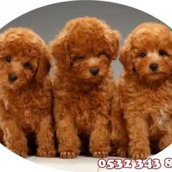 Toy Poodle Fiyatları Yavruları