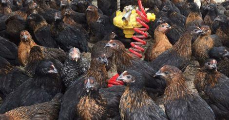 Çetinler Tavukçuluk